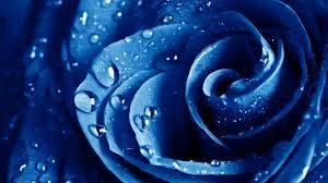 Mawar-Biru-300x168 Mawar Biru